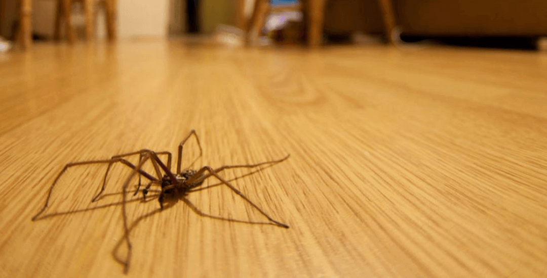 How to Kill a Huntsman Spider? – Effective Ways to Get Rid of Them