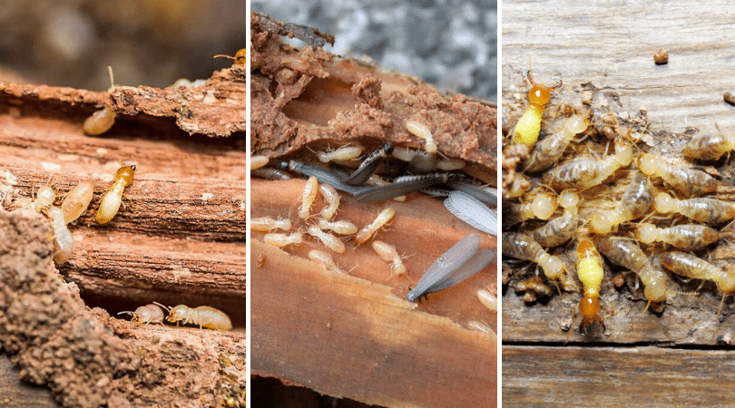 Do Termites Eat Hardwood?: know Pest Control Experts Answers