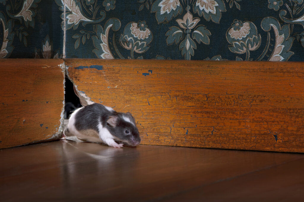 Rats in home effect health