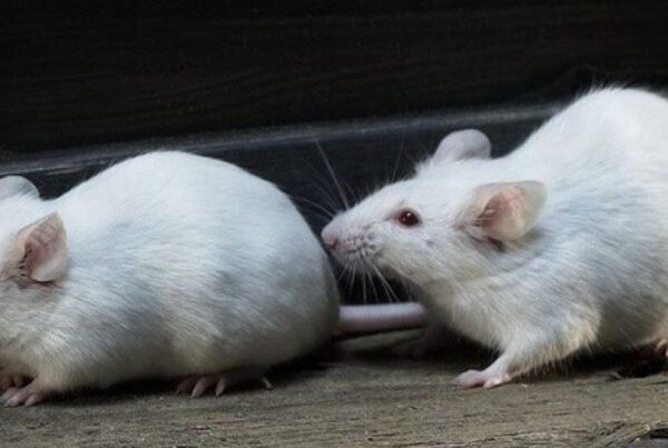 Rat (Mice or Mouse) Control Melbourne